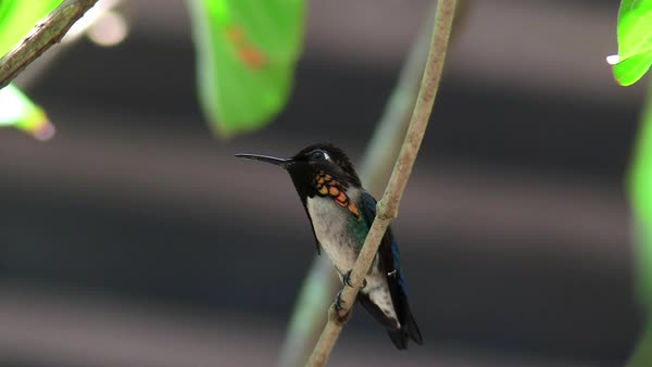 A male bee hummingbird rests ion a branch in Cuba. Royalty-free stock video