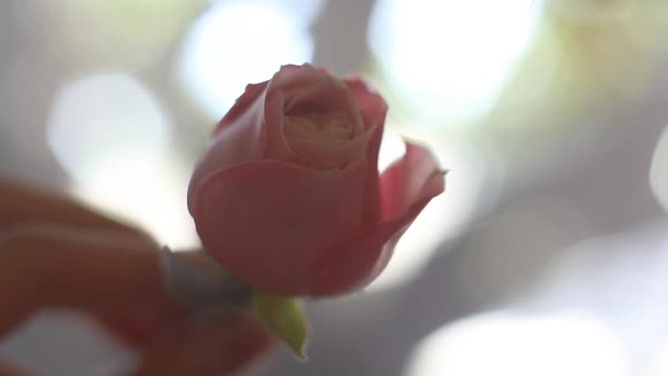 Handheld shot of a human hand holding a pastel coloured rose Royalty-free stock video