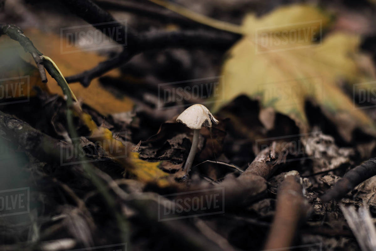 Growing Psilocybe mushroom in a foliage in forest in a beautiful fall colors  Royalty-free stock photo