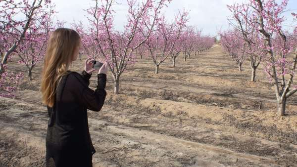 Handheld wide shot of blooming plum trees in the countryside Royalty-free stock video