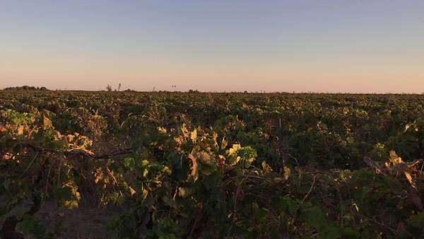 Wide-angle shot of a vineyard Royalty-free stock video