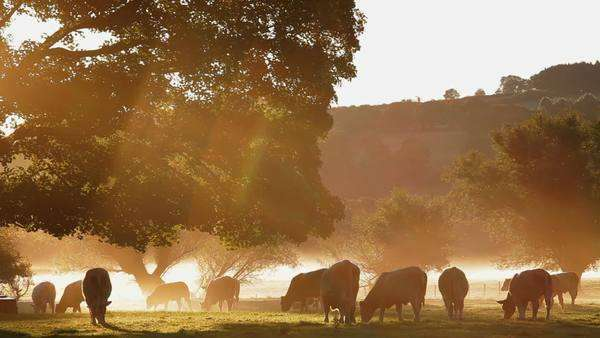 Cows in the mist at dawn Usk Valley nr Usk, South Wales, UK, Europe Royalty-free stock video