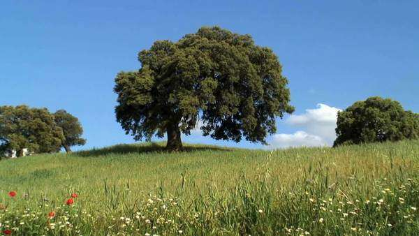 Oak trees in the countryside Andalucia Spain Royalty-free stock video
