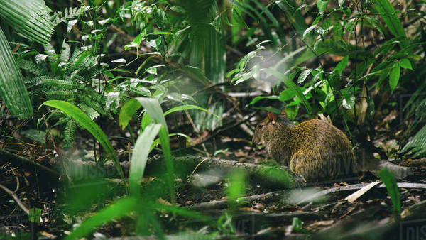 Agouti in jungle Royalty-free stock photo