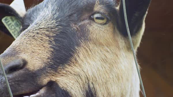 Close-up of goat chewing Royalty-free stock video