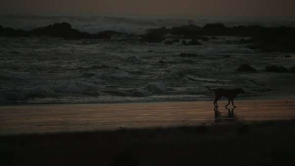 Dog walks on beach alone at dusk Royalty-free stock video