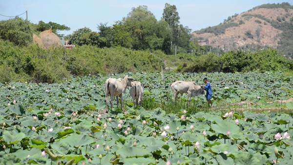 Scenic lotus flower farm in Cambodia with farmer and livestock Royalty-free stock video