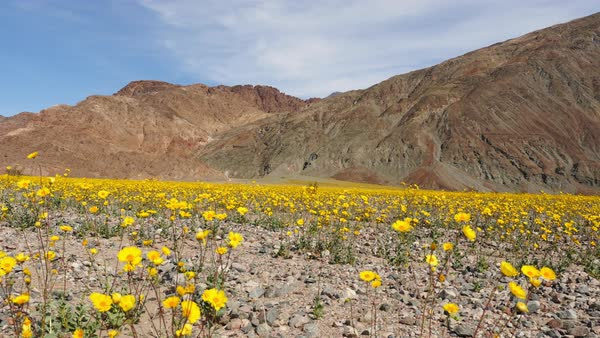 Pan of death valley desert flowers in super bloom spring stock dolly shot of death valley desert flowers in super bloom spring royalty free stock mightylinksfo
