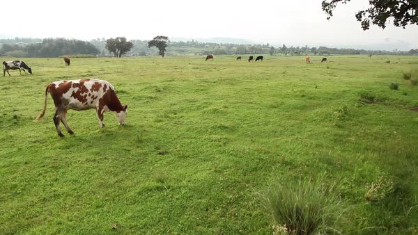 Shot of cows in a field in Kenya Royalty-free stock video