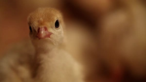 Close-up shot of turkey chicks Royalty-free stock video