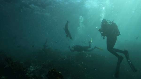 Cape fur seals swimming playfully around scuba divers underwater in Cape Town, South Africa Royalty-free stock video