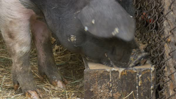 Close up of a pig eating hogwash food. Royalty-free stock video