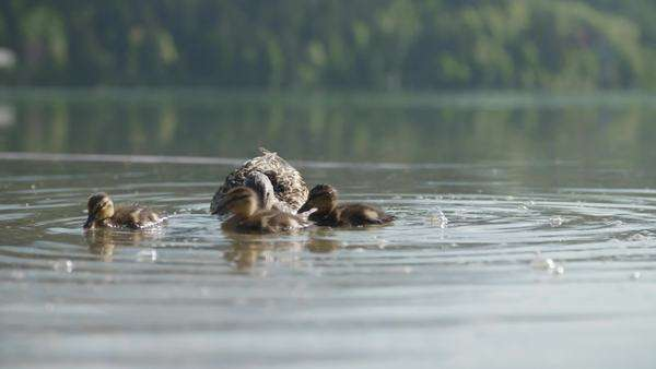 Family of ducks swimming Royalty-free stock video