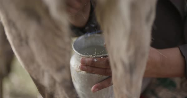 Hand-held shot of a person milking a reindeer Royalty-free stock video