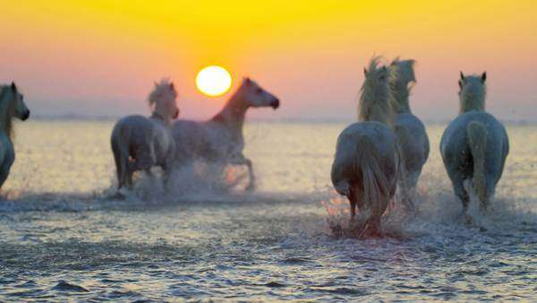 Horses being herded through water during sunset Royalty-free stock video