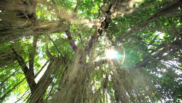 Sunlight through tall tree jungle canopy of lush woodland foliage in tropical rainforest in Indonesia Royalty & Sun flare through tall tree jungle canopy of lush woodland foliage ...