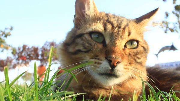 Tabby cat lying on grass and clawing at the air Royalty-free stock video