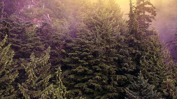Flying over enchanted rugged pine forest, small bird takes off, ascending into mist Royalty-free stock video