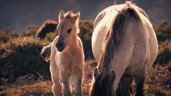 Young horse stands next to her mother in sunset wilderness Royalty-free stock video