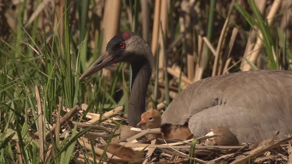 Common crane with hatchlings nested among reeds Royalty-free stock video