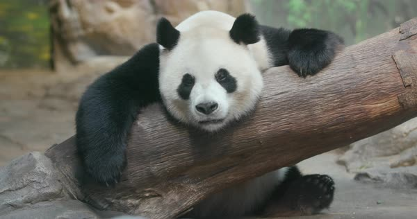 Lazy panda leaning on a branch Royalty-free stock video