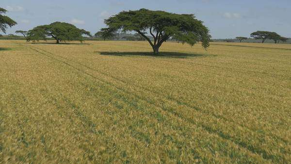 Aerial of Low flight over wheat field in Africa Royalty-free stock video