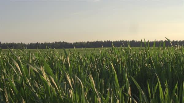 Swinging in the maize field