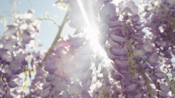 Summer sun shining through beautiful  blooming wisteria flowers on a perfect sunny day. Delicate glicinia purple petals hanging and swaying in spring breeze Royalty-free stock video