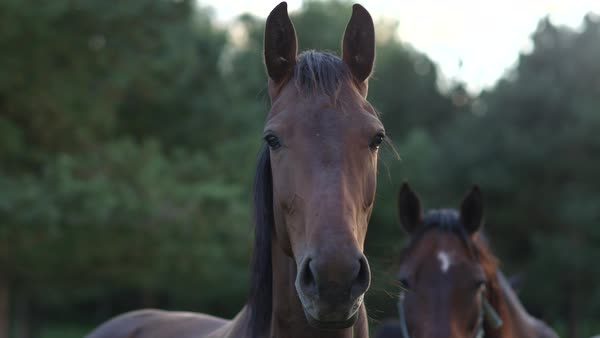 SLOW MOTION CLOSE-UP DOF: Portrait of beautiful and mighty dark bay female horse on a meadow field staring into the distance with ears high up Royalty-free stock video