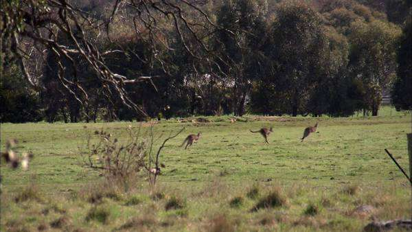 Handheld extreme wide shot of kangaroos jumping in the countryside Rights-managed stock video