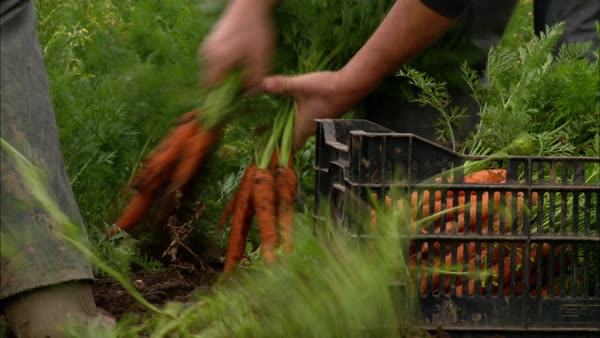 Medium shot of people harvesting carrots in Northern Ireland Rights-managed stock video
