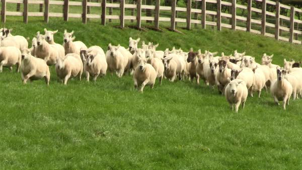 Medium wide shot of a sheep flock running on a meadow Rights-managed stock video