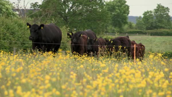 Wide-angle of a cattle herd in a field Rights-managed stock video