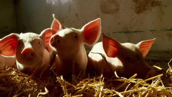 Close-up shot of piglets in a pen Rights-managed stock video