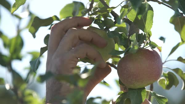 Close-up shot of a person picking an apple from tree Royalty-free stock video