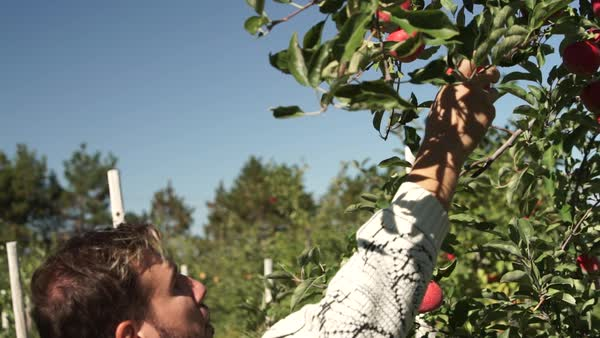 Medium close-up shot of a man picking an apple from tree Royalty-free stock video