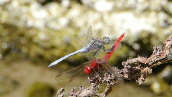 Red and blue dragonflies on the dry branch nearby mountain river Royalty-free stock video