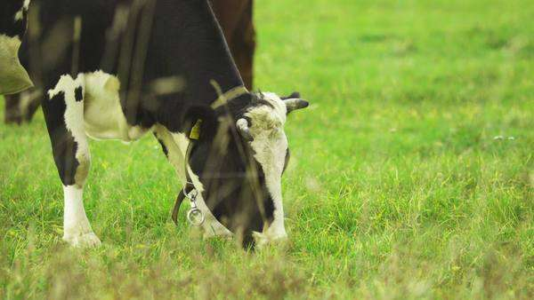 Black and white cow eating grass on field Royalty-free stock video