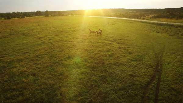 Aerial drone shot of brown horses running in the field. Royalty-free stock video