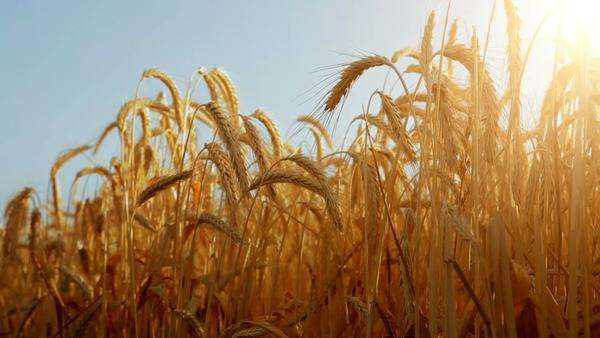 Sun through golden wheat ears with a pale blue sky as background Royalty-free stock video