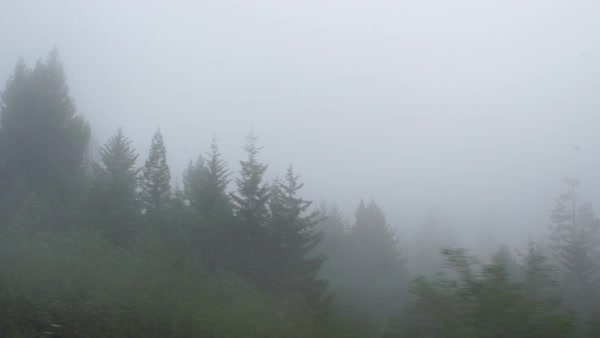 Wide shot of redwoods in fog Rights-managed stock video