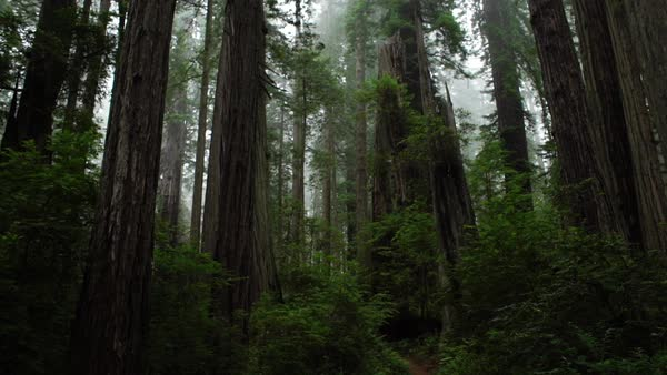 Wide shot of a path in a redwood forest Rights-managed stock video
