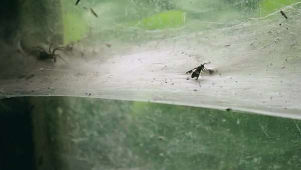 Spider catching fly struggling on thick web Royalty-free stock video