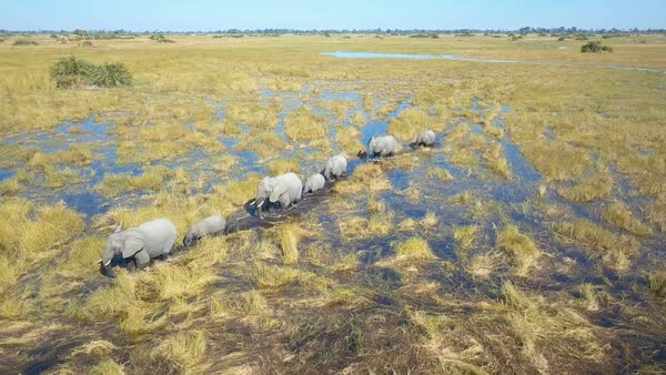 Low close aerial shot of family of elephants in single file wading through Okavango Delta Royalty-free stock video