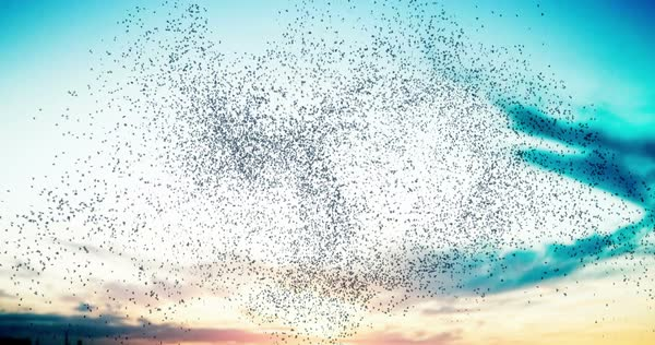 Flock of birds swarming against a sunset sky 4K Royalty-free stock video
