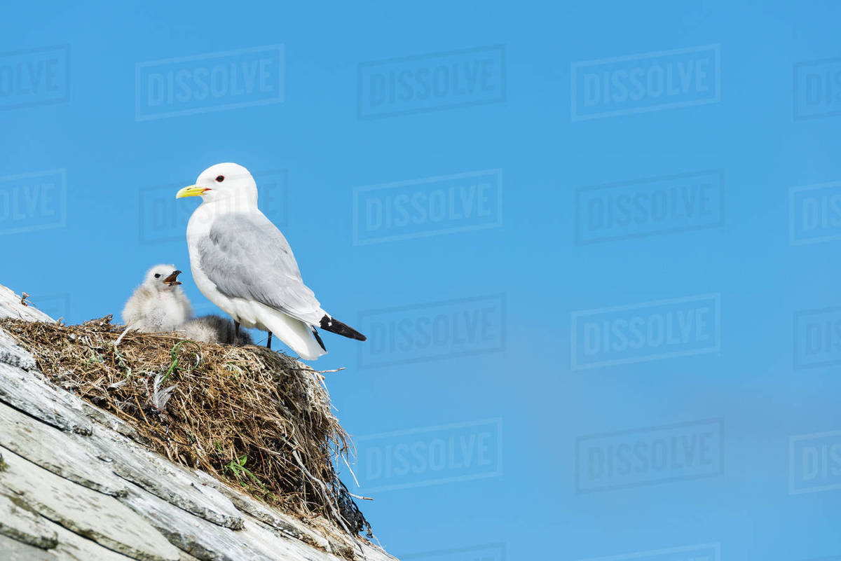 Seagull and chick in nest stock photo