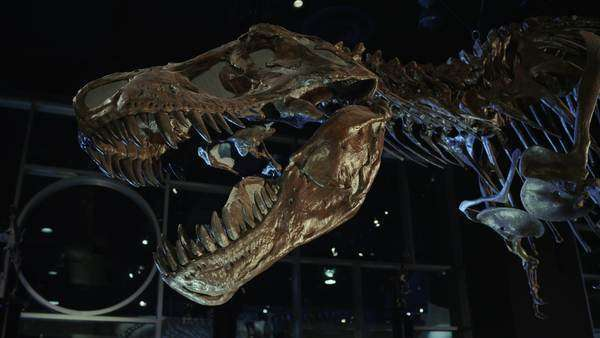 Tyrannosaurus rex fossil bones at museum. Royalty-free stock video