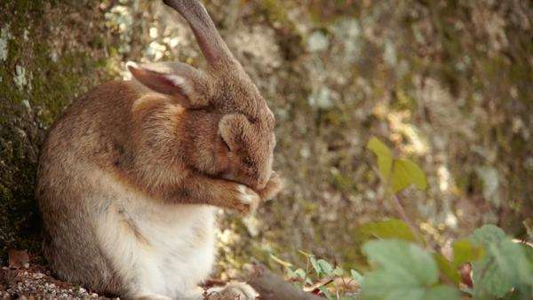 A small rabbit rubbing his nose on Ōkunoshima (Rabbit Island), Japan. Royalty-free stock video