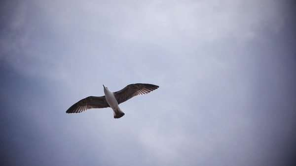 Slow motion: seagull against clouds. Majestic bird's flight. Royalty-free stock video