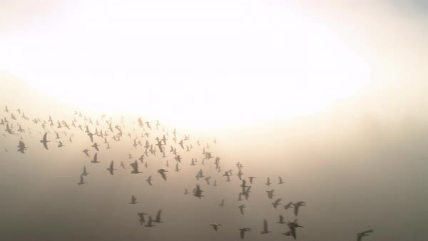 Canadian goose pack aerial flying slow motion in bright fog haze nature background Royalty-free stock video